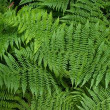 Fern Plant Tycoon Wiki Fandom