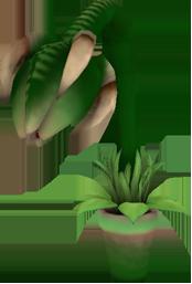 Джеффри (Растение) (Информация)
