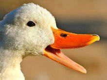 Duck-big-bill-59ef8e5068e1a2001072c89e