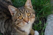 Буро-белый кот