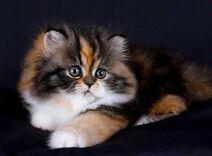 Persian-cat1