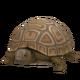 Pygmy Tortoise