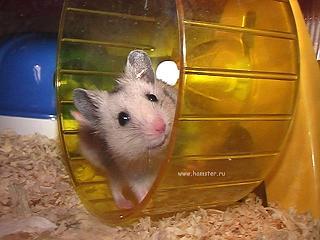 Hamster corriendo en una rueda