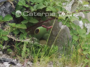 Caterpie trailer