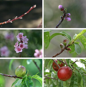 Nectarine Fruit Development