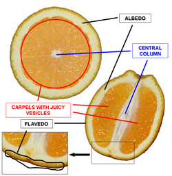 Orange cross section description