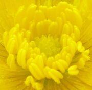 RanunculusRepens-FoxRoost-Newfoundland - stamens and pistils closeup
