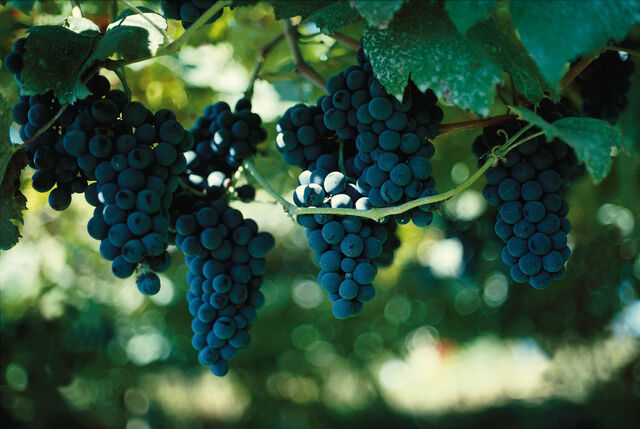 File:Grapes(1).jpg
