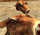 Diseased cow head