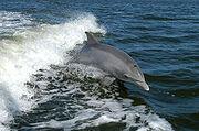 220px-Bottlenose Dolphin KSC04pd0178