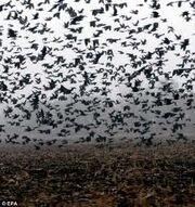 Crow Legion