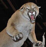 220px-Cougar Nevada