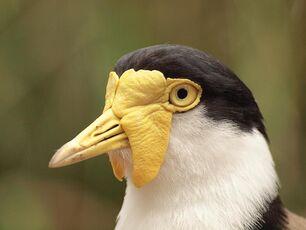 Bnobird