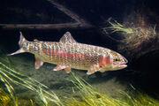 Rainbow-trout-15