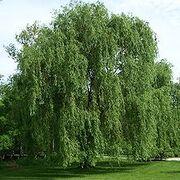220px-Salix alba Morton