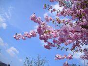 Flowering-cherry-tree w725 h544
