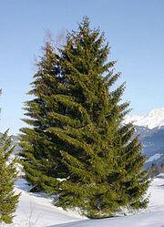 220px-Picea abies