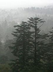 220px-Abies fabri in mist