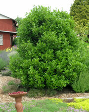 Bay-laurel-tree