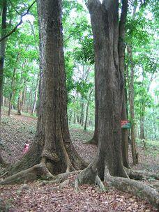 450px-Mahagoni Tree