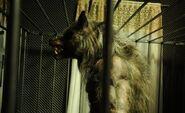 Werewolf-superpower