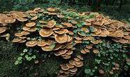 Honey-Fungus,-Gardening,--443723