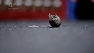 Rat Shapeshifter