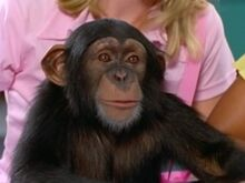 Kelly-The-Chimp-300x225