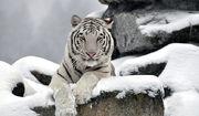 White siberian tiger1