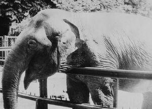Elephant Kinga Poznan ZOO