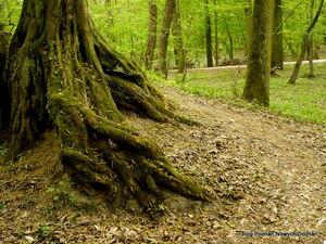 Lasek Dębiński