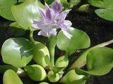 Floating Hyacinth