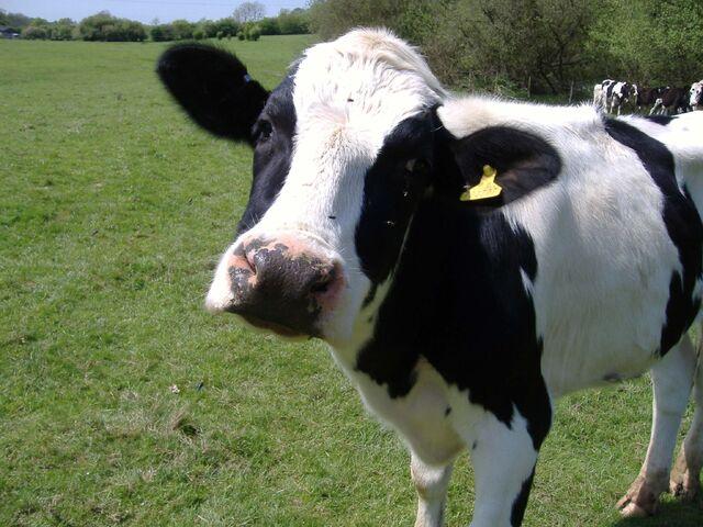 File:Cow.jpg