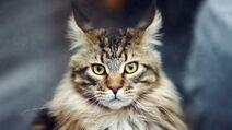 Maine-coon-cat-1920x1080