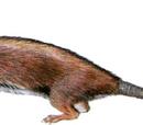 Олигокифус