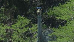 1000px-1x1 OrnithomimusInBush