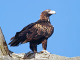 Wedge-tailed Vulture