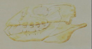 File:Placodus Skull.png