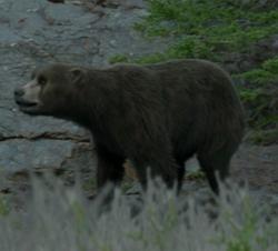 Cave bear infobox