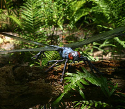 Giant dragonfly infobox