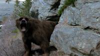 1x2 BearRoaring