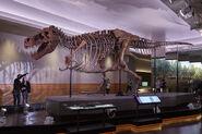 Sue fossil