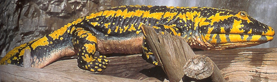 Hynerpeton