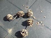 Metasequoia cones