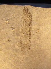 Archaeopteryx feather