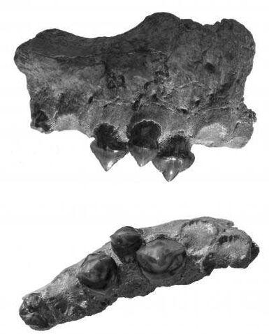File:Megapiranha bones.jpg