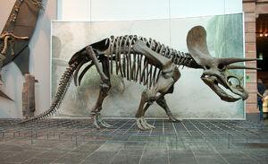 Triceratops Skeleton Senckenberg 2-1-