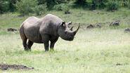 Black-rhino gallery 3
