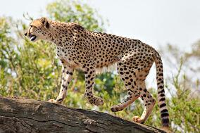 Cheetah Feb09 02