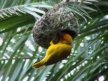 Weaver-bird